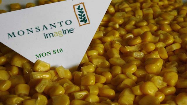 OGM-mais-Monsanto